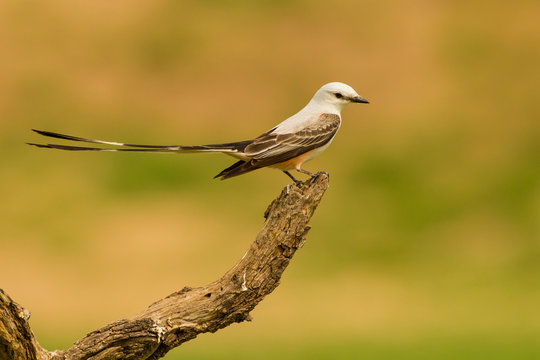 USA, Texas, Hidalgo County. Scissor-tailed flycatcher on limb. Credit as: Cathy & Gordon Illg / Jaynes Gallery / DanitaDelimont.com