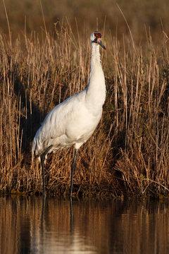 Whooping Crane (Grus americana) wintering at Aransas National Wildlife Refuge, Texas
