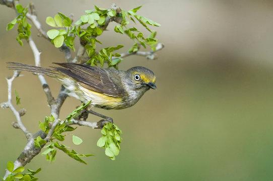 USA, Texas, Rio Grande Valley, McAllen. White-eyed vireo perched on small branch.