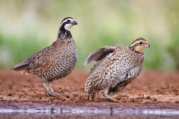 Northern Bobwhite (Colinus virginianus) quail babies at pond for drink