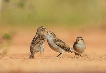 House Sparrow (Passer domesticus), female feeding young, Rio Grande Valley, South Texas USA