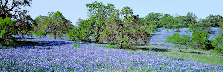 Door stickers Texas USA, Texas, Llano. Texas Bluebonnets, the state flower, fill these rolling oak-covered hills in the Llano area of Texas.