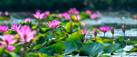 Fotobehang Waterlelies Water lilies bloom in the pond is beautiful. This is a flower that represents the purity, simplicity