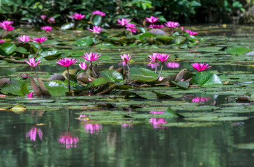 Foto op Canvas Waterlelies Water lilies bloom in the pond is beautiful. This is a flower that represents the purity, simplicity