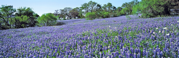 Photo sur cadre textile Texas USA, Texas, Llano. The lush carpet of Texas bluebonnets is occasionally dotted with oak trees in Hill Country, Texas.