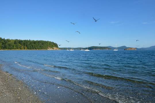 USA, Washington State. San Juan Islands, Lopez Island. Gulls flying above anchored sailboats. Spencer Spit