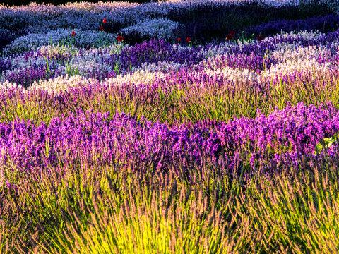 USA, Washington State, Sequim, Lavender Field, Lavender Field in full boom