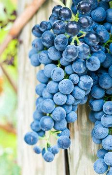 USA, WA, Yakima Valley, Syrah Grapes (Selective Focus)