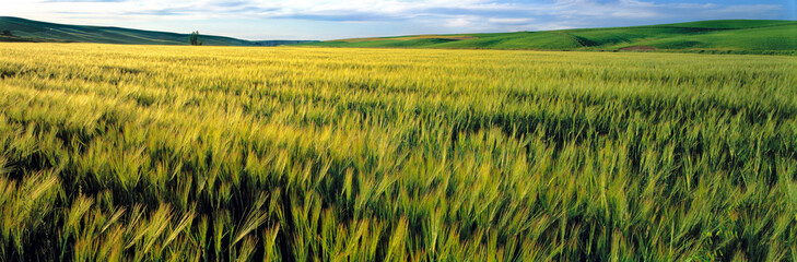 USA, Washington State, Colfax. Barley fields are colored by the setting sun in the Palouse region of eastern Washington State.