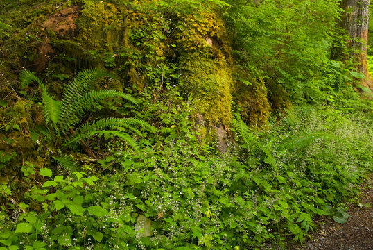 USA, WA, Mount Baker Snoqualmie National Forest. Fairy like blooms of False Mitrewort (Tiarella trifoliata) decorate lush woodland trail in early summer