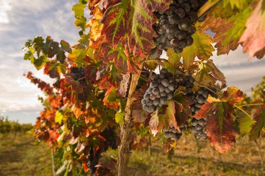 Pinot Noir Grapes near Zillah, Rattlesnake Hills Wine Trail, Yakima Valley, Eastern Washington State, USA