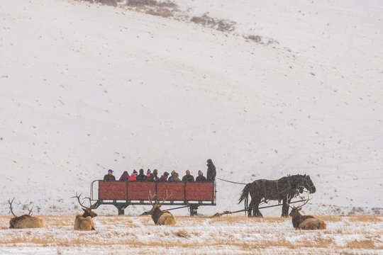 USA, Wyoming, National Elk Refuge. Tourists on sleigh ride and resting elk. Credit as: Cathy & Gordon Illg / Jaynes Gallery / DanitaDelimont.com