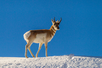 USA, Wyoming, Paradise Valley. Pronghorn antelope standing on hill. Credit as: Cathy & Gordon Illg / Jaynes Gallery / DanitaDelimont.com