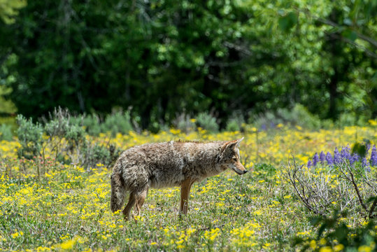 Coyote near Grand Teton National Park