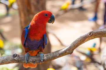 Red Eclectus Parrot on tree.
