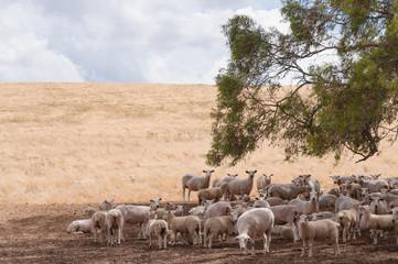 Foto op Canvas Schapen Australian merino sheep in the shade of a tree on farmland paddock
