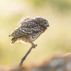 Fototapete - Young Little owl, Athene noctua,sitting on a stick against a blurred natural background