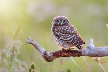 Fototapete - Young Little owl, Athene noctua,sitting on a stick against a blurred natural background. With copy space