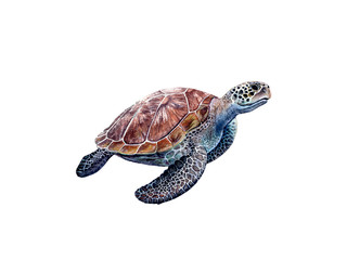 Watercolor hand drawn sea turtle realistic illustration isolated on white.