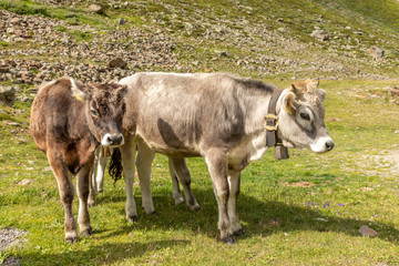 Grazing Cows in The Mountains, Passo Rombo - Timmelsjoch, Italian-Austrian Border