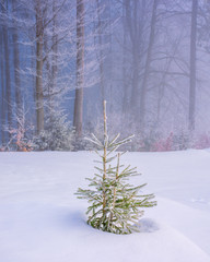 enchanted winter scenery. small spruce tree in hoarfrost on a snow covered meadow in front of a beech forest in morning mist. cute christmas background with copyspace