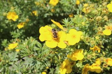 Biene auf Blume - Artenvielfalt