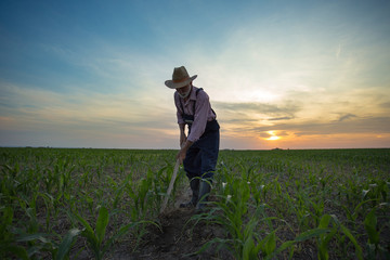 Farmer hoeing corn field from weed