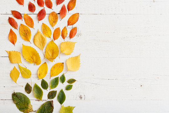 Top view of bright colorful autumn leaves laid out in colors on a white wooden table. Autumn concept.