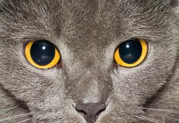 Yellow eyes of a grey British cat closeup