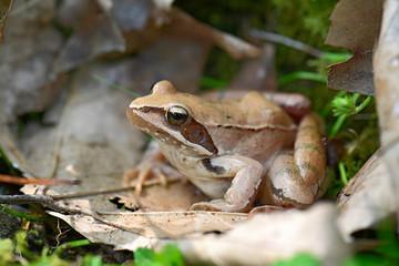 Wall Murals Frog Springfrosch (Rana dalmatina) - Agile frog