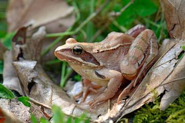 Garden Poster Frog Springfrosch (Rana dalmatina) - Agile frog