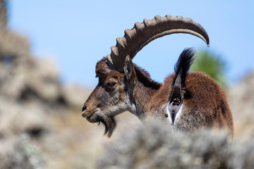 Fototapeta Very rare Walia ibex, Capra walia, one of the rarest ibex in world. Only about 500 individuals survived in Simien Mountains in Northern Ethiopia, Africa obraz
