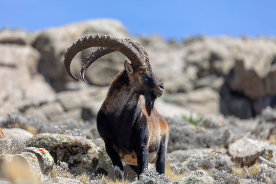 Very rare Walia ibex, Capra walia, one of the rarest ibex in world. Only about 500 individuals survived in Simien Mountains in Northern Ethiopia, Africa
