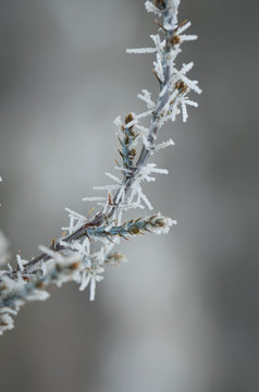 Single Frozen Juniper Branch