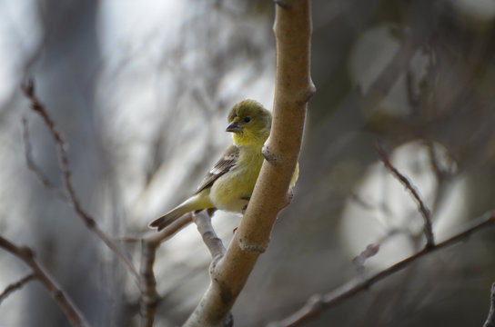 Macro Lesser GoldFinch