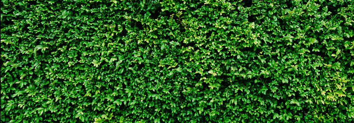 Panorama Green leaves wall texture for backdrop and background Wall mural