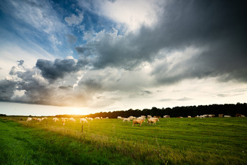 Wall Mural - Cows on the pasture, storm clouds in the sky