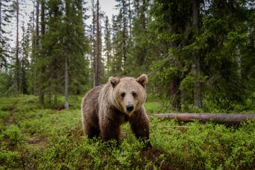Brown bear (Ursus arctos) in forest