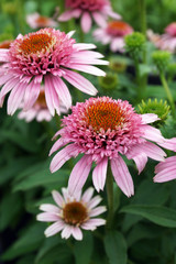 Vertical closeup of the coneflower cultivar 'Butterfly Kisses' (Echinacea 'Butterfly Kisses')