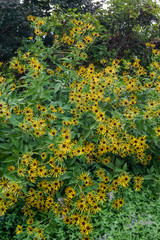 Vertical image of a large clump of 'Henry Eilers' sweet coneflower (Rudbeckia subtomentosa 'Henry Eilers')