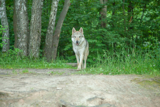 Russian wolfdog walking and playing in nature in the forest