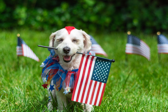 Dog holding american flag in mouth with eyes closed