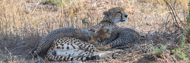 Cheeta with her two babies in the savannah, Serengeti reserve in Tanzania, cute animals