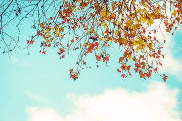 Beautiful autumn leaves and sky background in fall season, Colorful maple foliage tree in the...