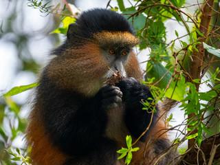 Photo sur Aluminium Singe Golden Monkey in the Virunga volcanic mountains of Central Africa