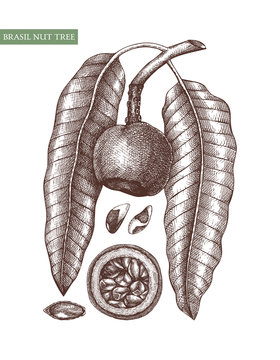 Brazil nut tree vector illustrations. Hand drawn food drawing.  Organic vegetarian product sketches. Perfect for recipe, menu, label, packaging, Vintage set of nuts, leaves, branches.