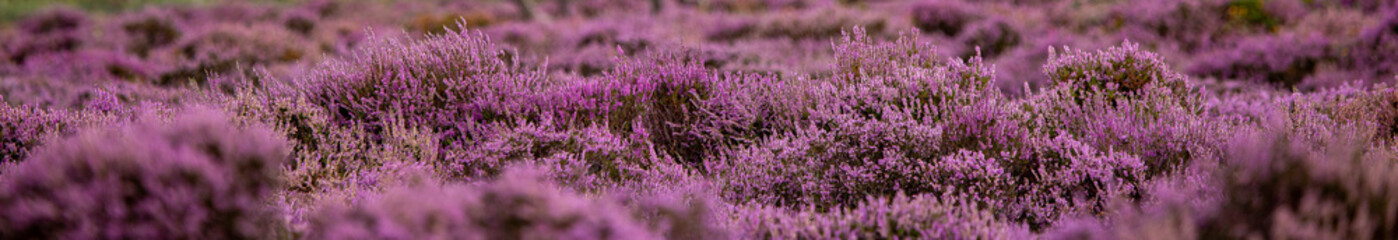 The Purple Heather on Dunwich Heath Suffolk UK