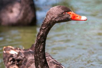 Mourning Swan or Black Swan (Schwarzer Schwan, Trauerschwan, Cygnus atratus)