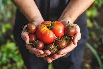 Organic vegetables. Healthy food. Fresh organic tomato and tomatoes cherry in farmers hands Fotomurales