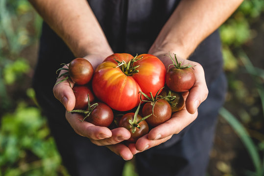 Organic vegetables. Healthy food. Fresh organic tomato and tomatoes cherry in farmers hands
